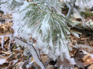 Hoarfrost on pine Jesses Cove Trail Watoga State Park