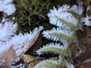 Hoarfrost found along Jesses Cove Trail Watoga State Park
