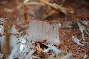 Ice Needles form in soil along Allegheny Trail Watoga State Park
