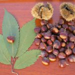 Chestnut leaves, chestnuts and husks