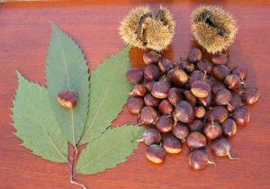 Chestnut leaves, chestnuts and husks