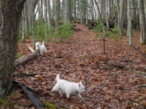Bongo and Daisy looking for Old Growth at Watoga State Park
