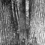 Early settler amongs giant Chestnut trees