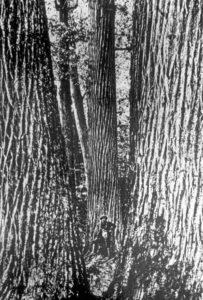 Early settler amongs giant Chestnut trees