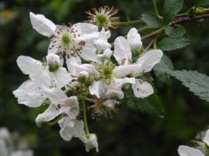 Black Raspberry Bloom