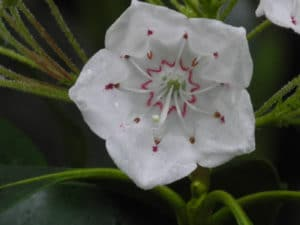 Mountain Laurel Bloom