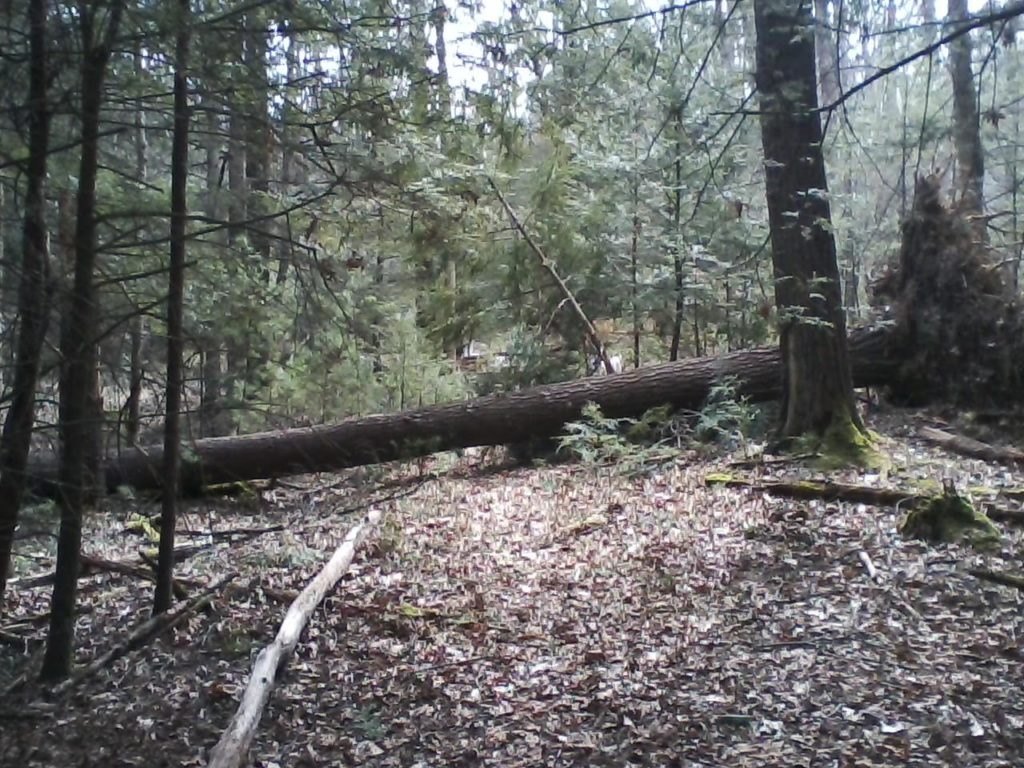 Large White Pine across the 5K Trail at Watoga State Park