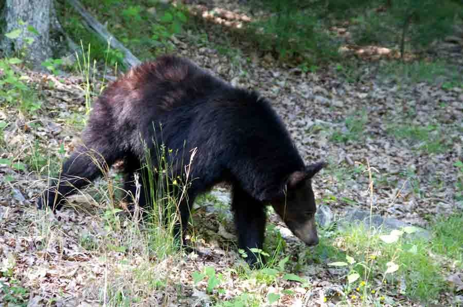 Untold Story of the Black bear at Watoga State Park