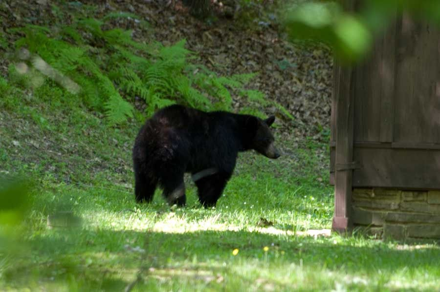 Large black bear turns the corner of Cabin 12 at Watoga State Park near Marlinton, West Virginia in June 2014. The black bear is West Virginia's state animal. Photo by Stanley Clark.