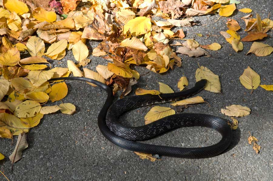 A curling black snake on a fall day at Cacapon State Park, Berkeley Springs, West Viriginia. | 📸: @clark.stan