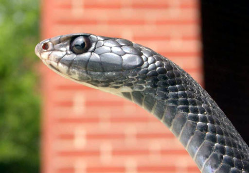 Profile of the head of a black snake, Durham County, North Carolina. | 📸: Patrick Coin
