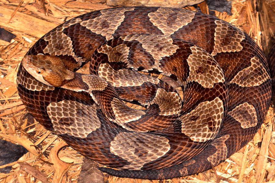 Copperheads mostly lie still, oftentimes in a curled or twisted position. The northern copperhead is a venomous pit viper subspecies in the eastern U.S. | 📸: U.S. Centers for Disease Control