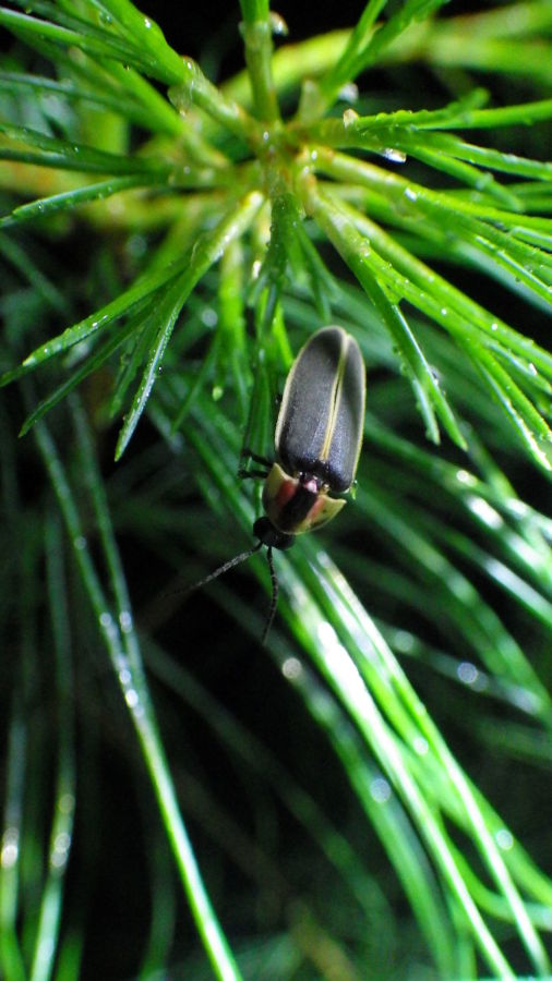 Photo of synchronous firefly
