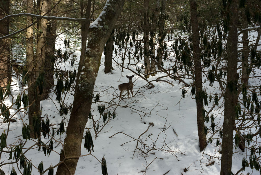 Watoga State Park photos depict a deer in a snowy scene amongst a backdrop of freshly fallen snow. Photo by Stanley Clark©.