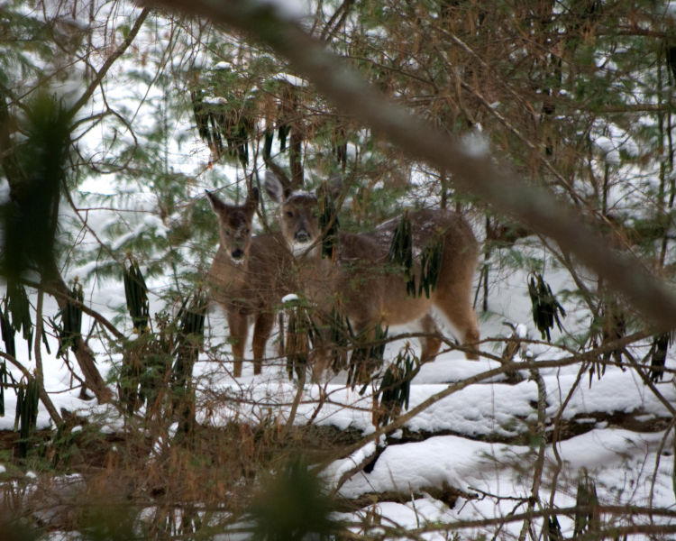 A buck and a doe glance through the forest at the photographer as if they are posing for the winter snapshot near a stream with snow all around. Photo by Stanley Clark©.