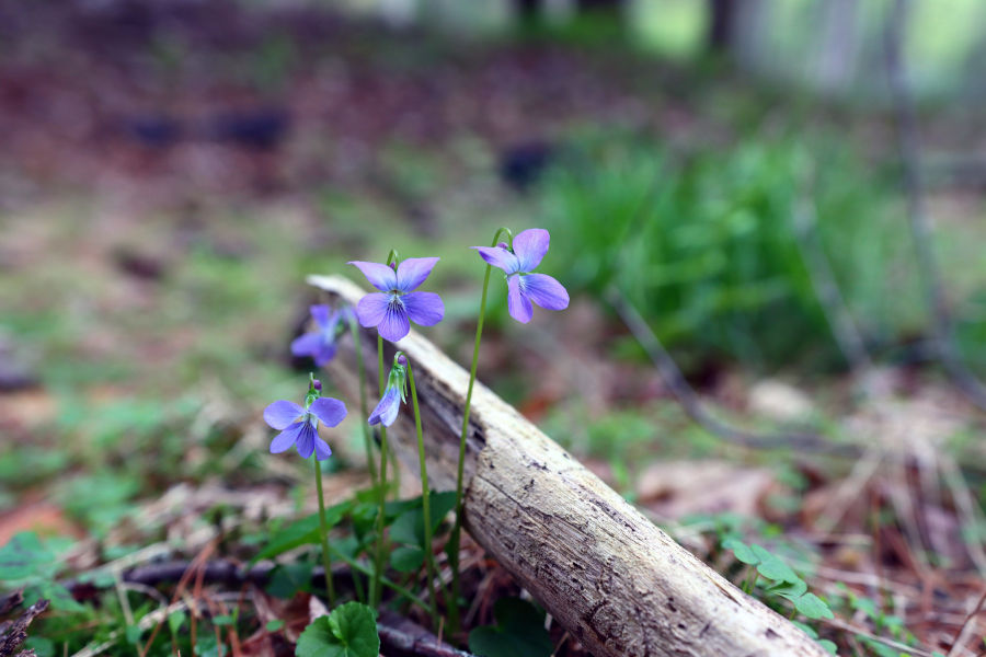 Blue Marsh Violet.  Found this little beauty near the pool towards the Lake Trail.  I love photographing flowers near dead trees/dried wood.