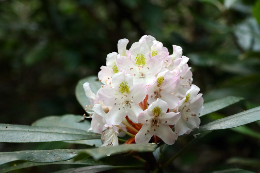 Up close and personal with a rhododendron bloom. © Angela Hill.