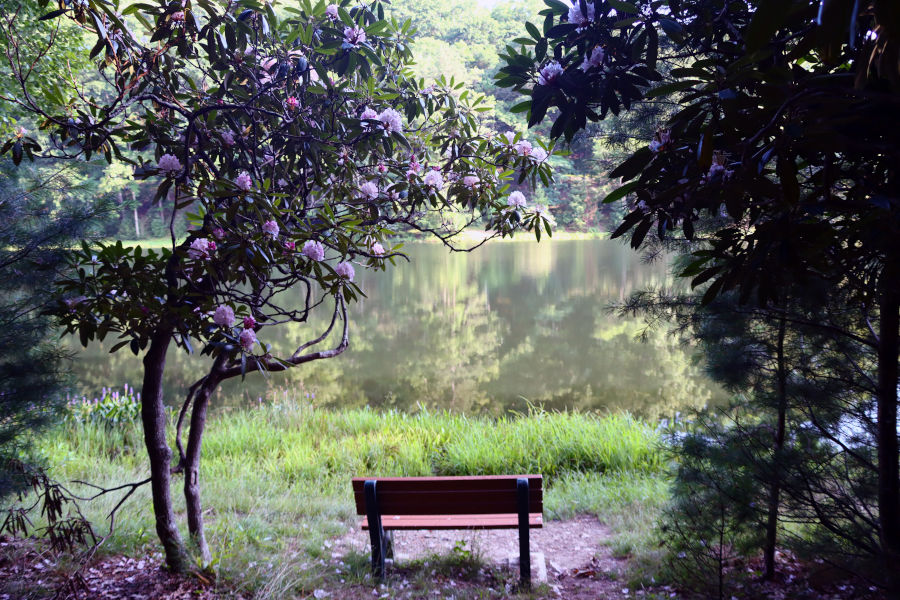 A bench with a view, framed by West Virginia's state flower.