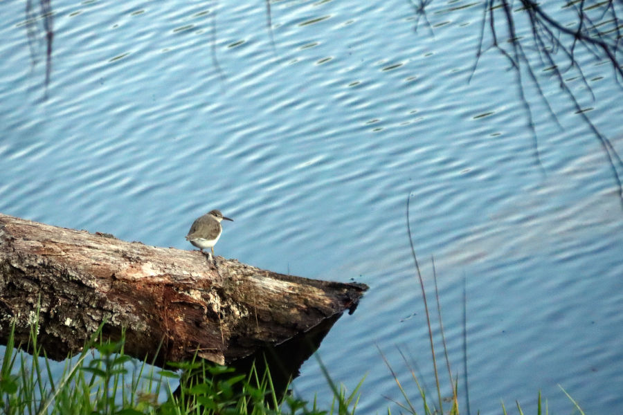 This Wrybill pauses to take in the summertime sights at Watoga. The swimming pool is a popular spot in the summertime at Watoga. ©Angela Hill.