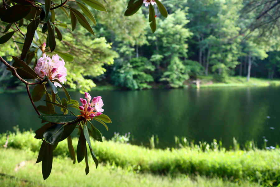 A vote by public school students in 1903 selected the rhododendron as West Virginia's state flower. © Angela Hill.