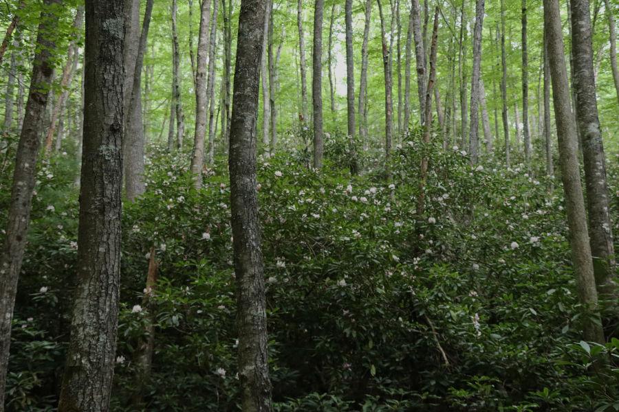 "The photographer calls this shot ""Rhododendren Heaven on Bear Pen Trail."""